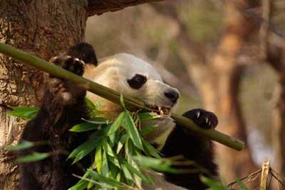 panda_090215.jpg